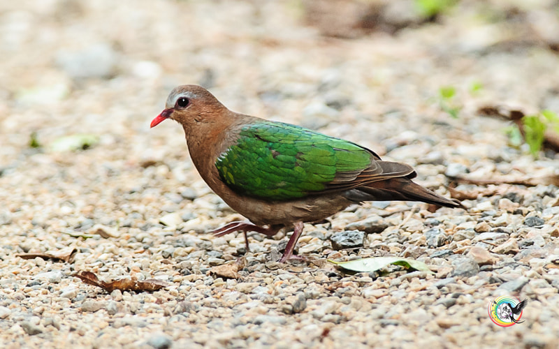 Photograph Emerald Dove by Andy Fu on 500px