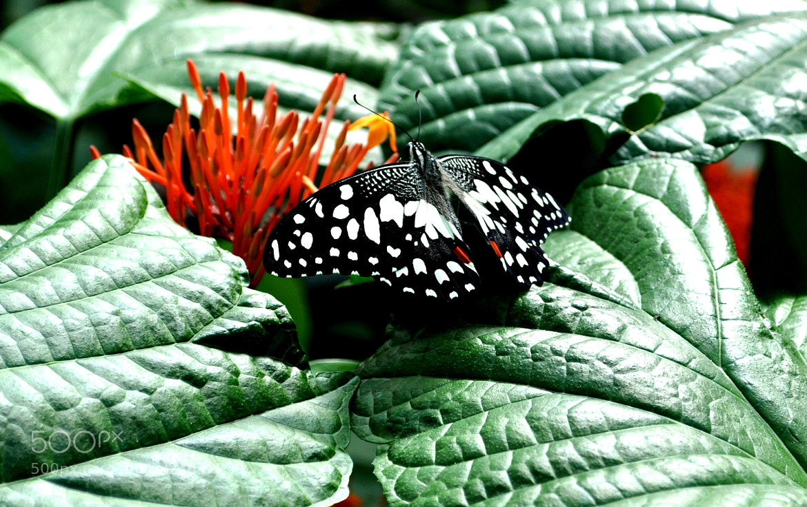 Photograph Black Butterfly by Chaithanya Holla on 500px