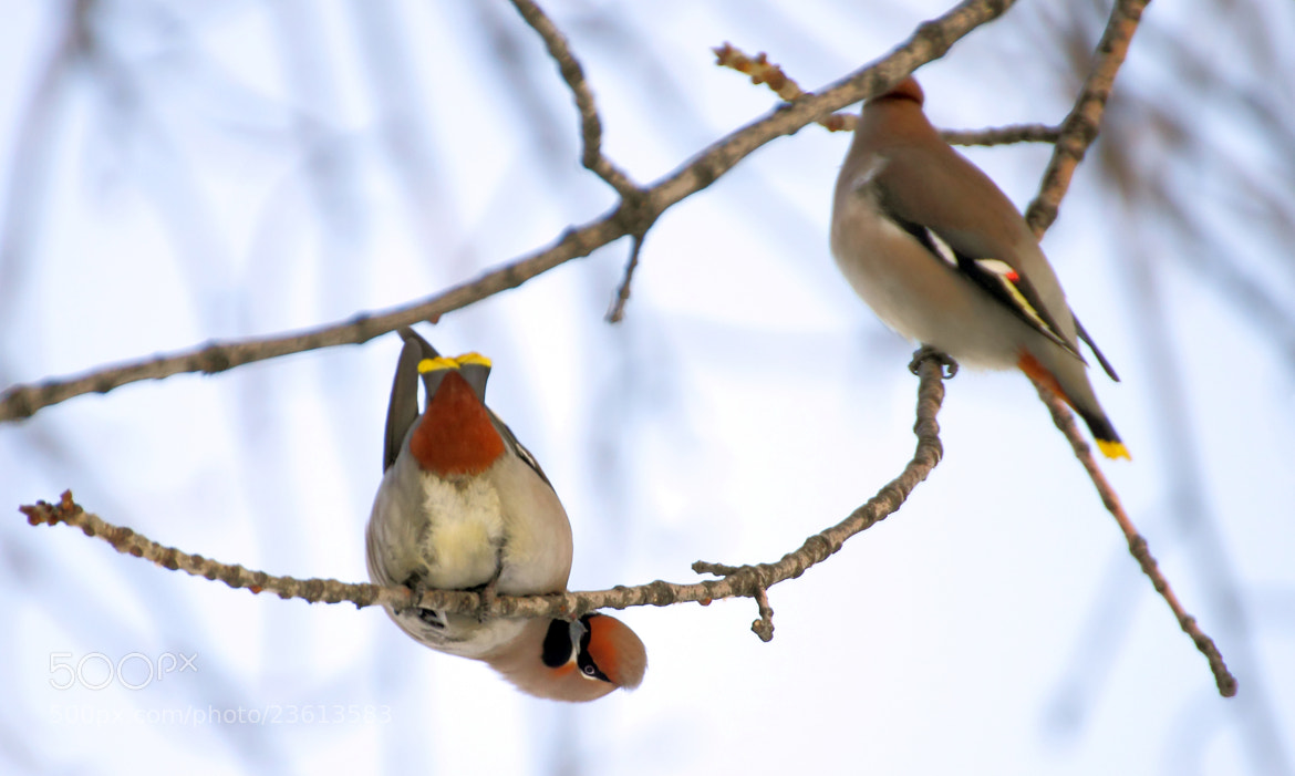 Photograph Winter life of birds by Walker  on 500px