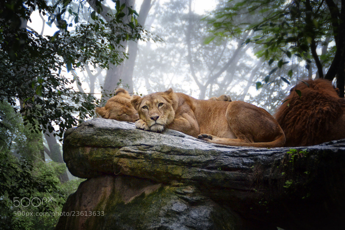 Photograph Lion by Piu Tie on 500px