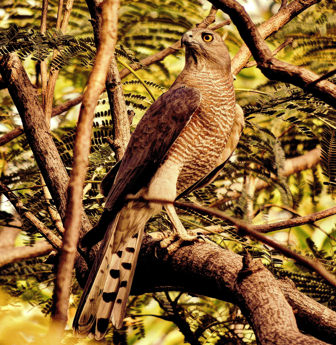 Photograph Accipiter Badius (Adult female shikra) by Ravi S R on 500px