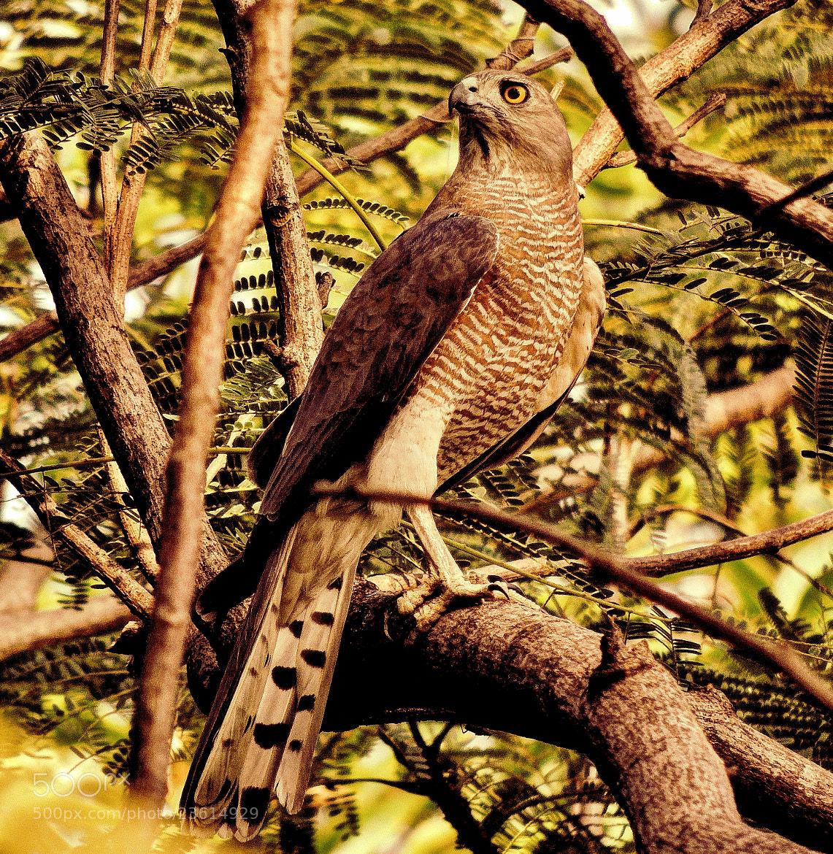 Photograph Accipiter Badius (Adult female shikra) by Ravi S R on 500px