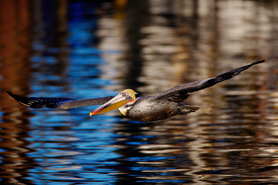 Photograph C6J2145  California Brown Pelican in Breeding Plumage by David Orias on 500px