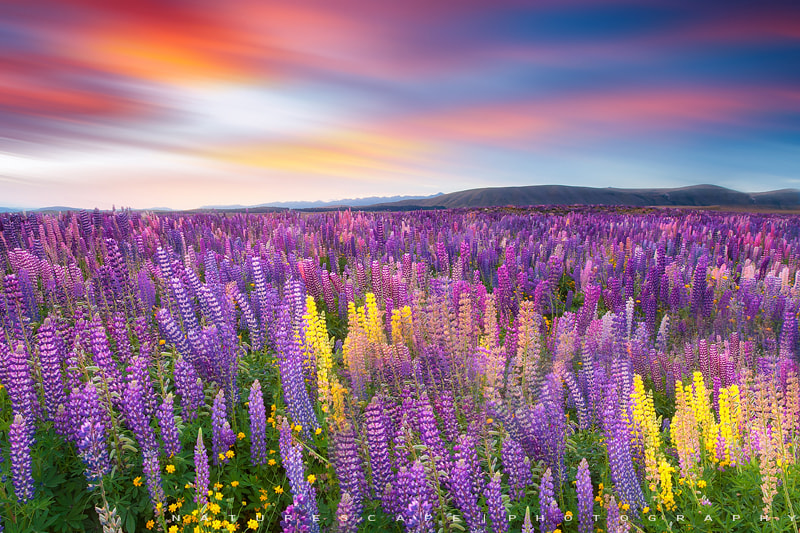 Photograph Land of Lupines by Nagesh Mahadev on 500px