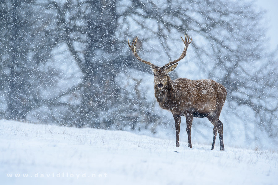 Photograph Red Deer & Snowfall by David Lloyd on 500px