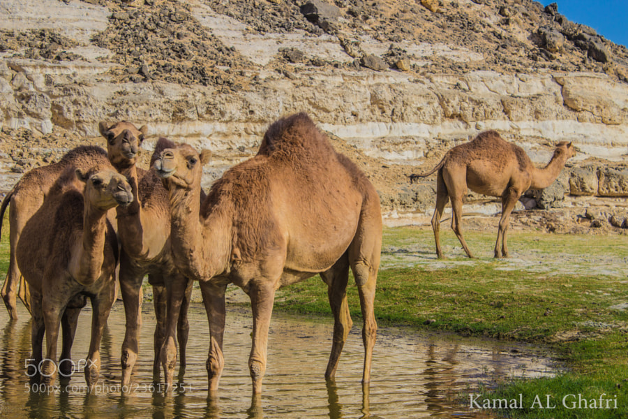 Photograph Cheez LooooL ( Oman's Camel ) by Kamal AL Ghafri on 500px