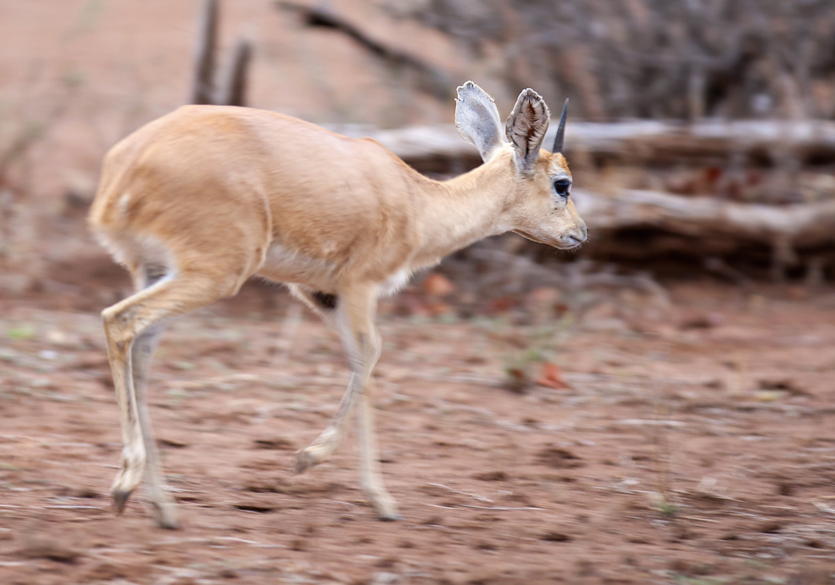Steenbok on the move