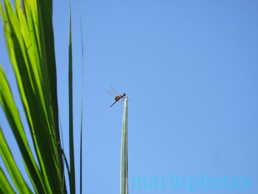 Spring Mountain dragonfly