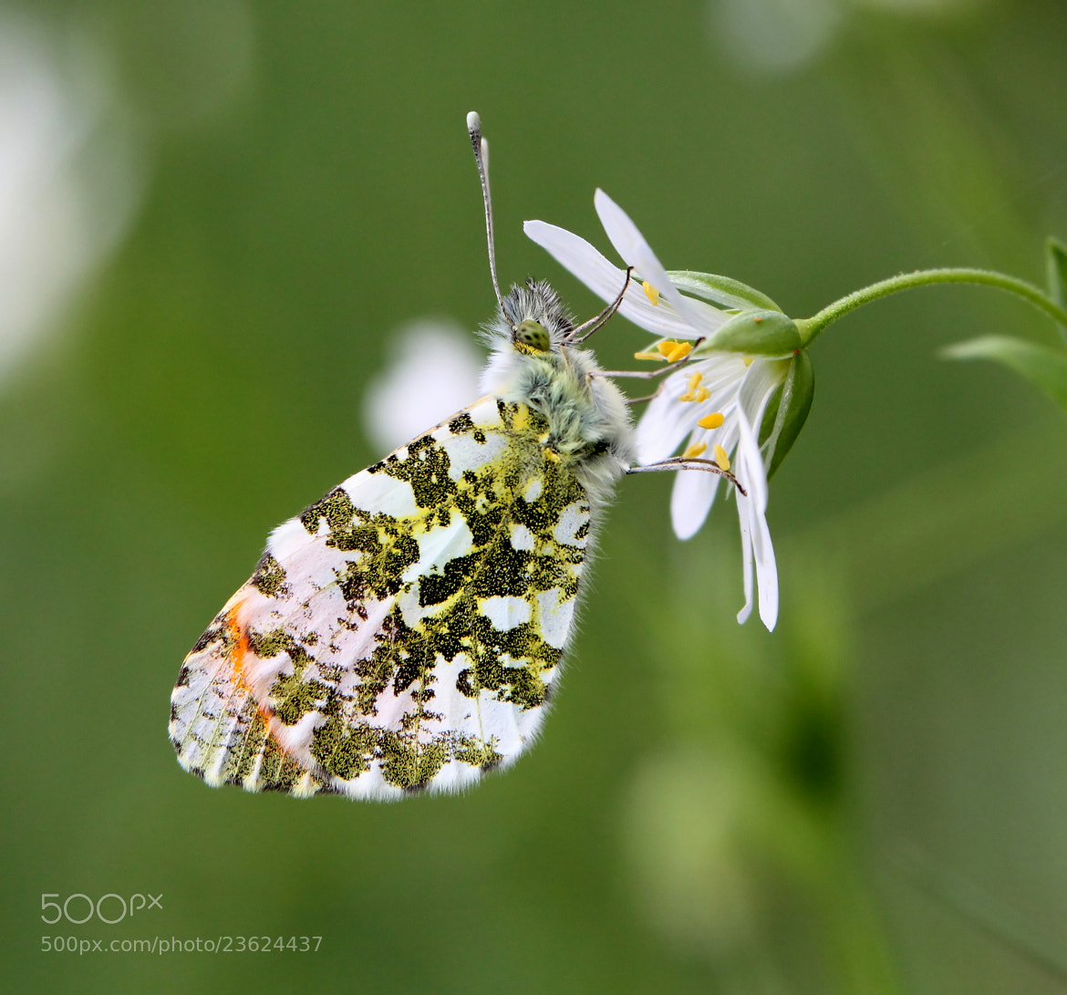 Photograph Orange Tip by Ger Bosma on 500px