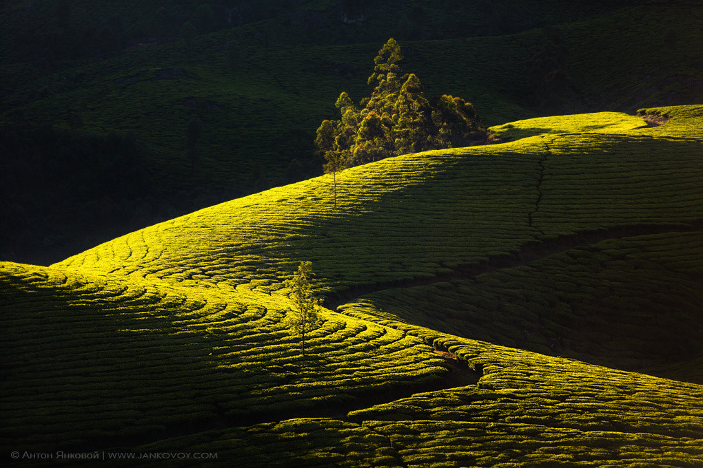 Photograph Tea plantation's Geometry by Anton Jankovoy on 500px