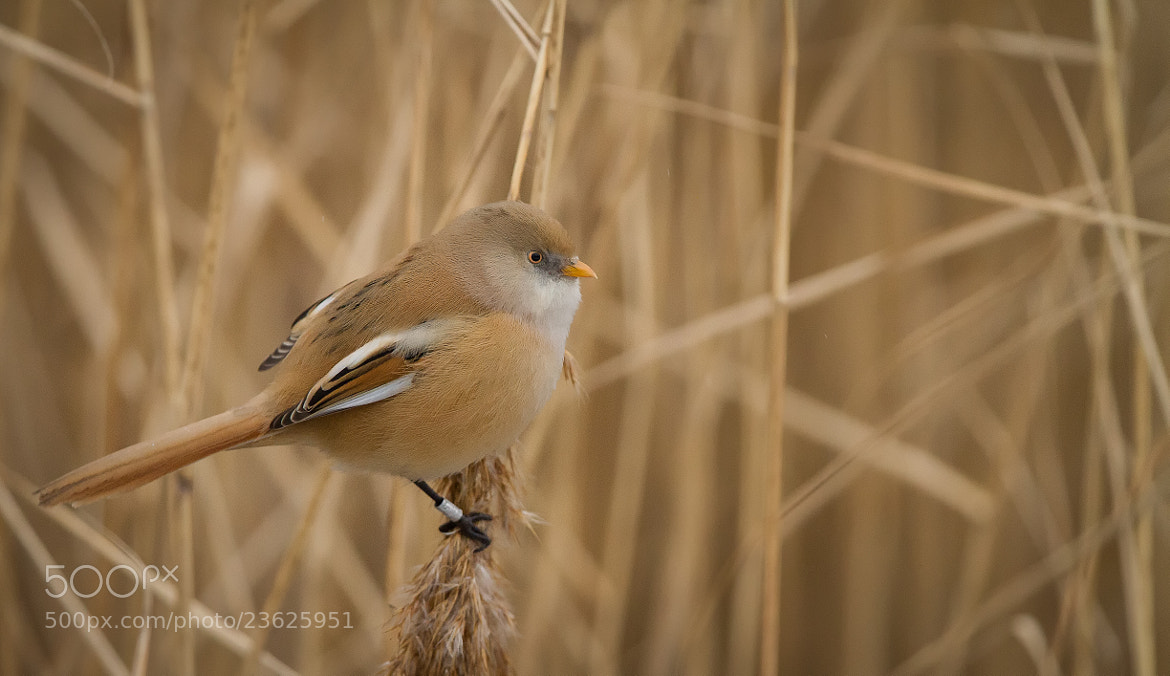 Photograph Bearded Tit by Ian Billenness on 500px