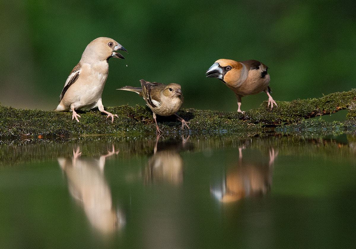Photograph Hawfinch by Mirek Zítek on 500px