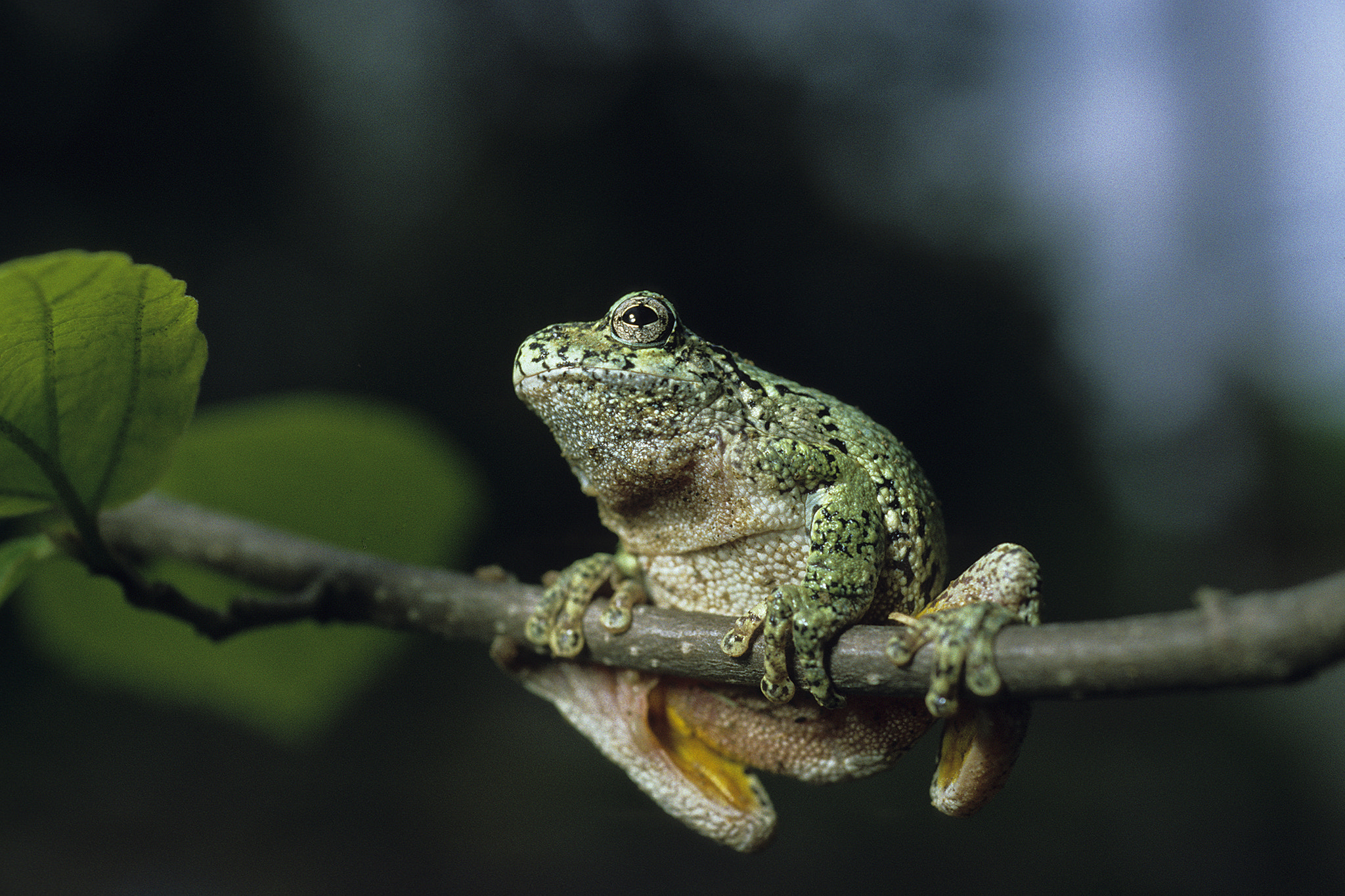 Photograph Hyla versicolor by Maurice Pitre on 500px
