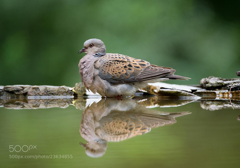 Photograph Turtle Dove by Mirek Zítek on 500px