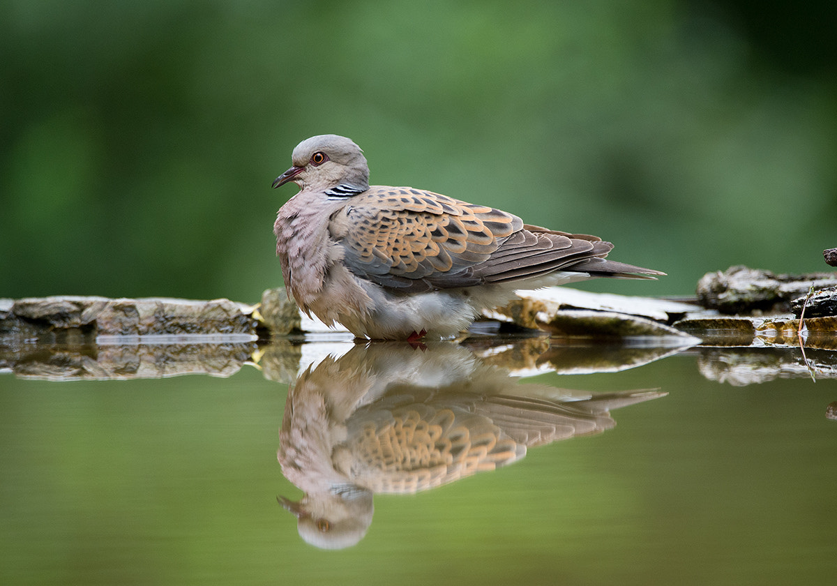 Photograph Turtle Dove by Mirek Zítek on 500px