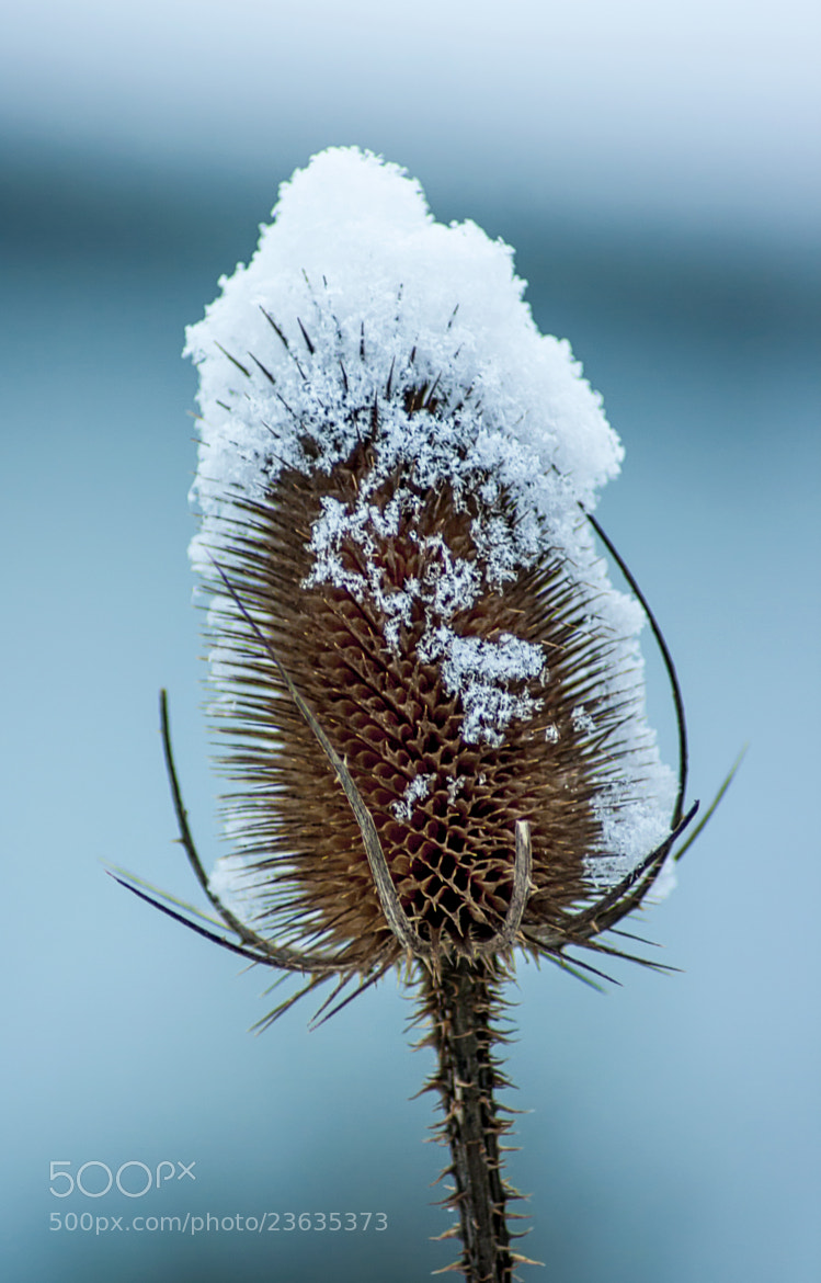Photograph Snowy Dipsacus by Nicolai Bönig on 500px