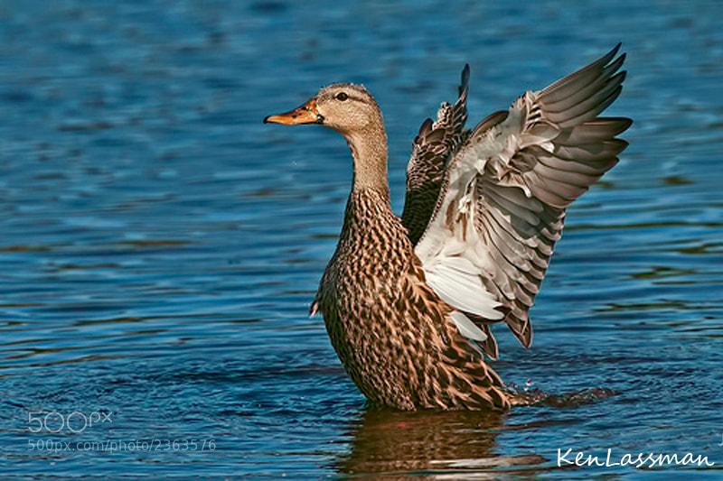 Mottled Duck bathing