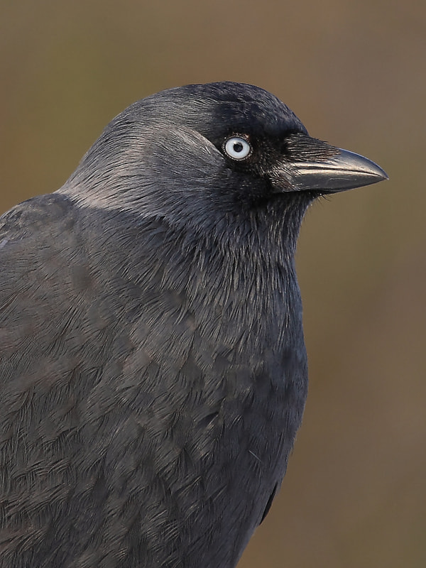 Photograph Corvus monedula by theo dierckx on 500px