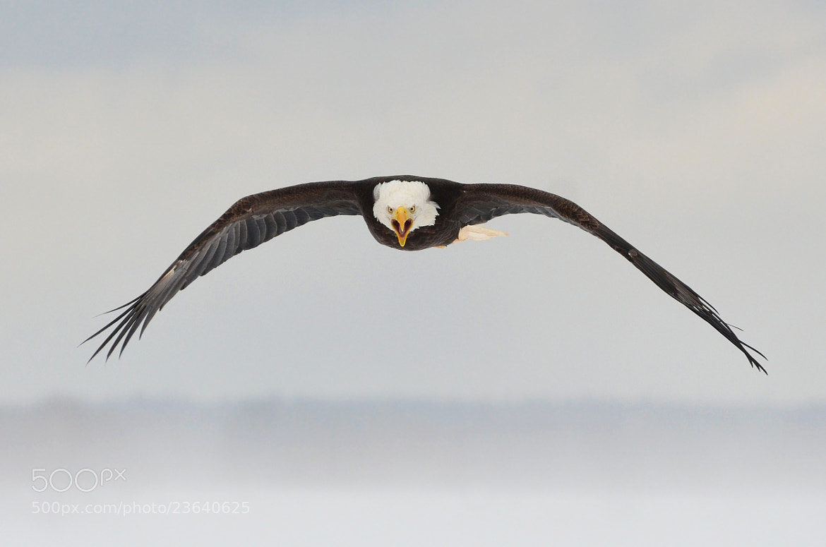"Photograph ""Screaming Eagle"" by Peter Brannon on 500px"