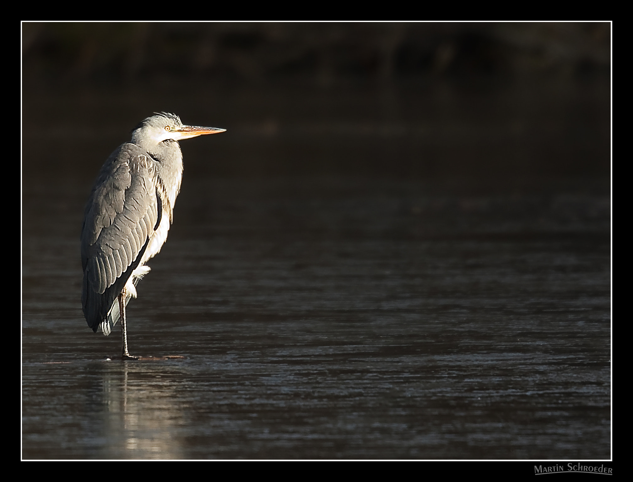 Photograph Gray heron by Martin Schroeder on 500px