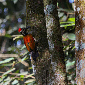 Black-rumped Flameback Woodpecker by Ravi Meghani (ravi_meghani)) on 500px.com