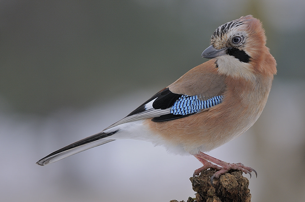 Photograph Eurasian Jay by B Timmer on 500px
