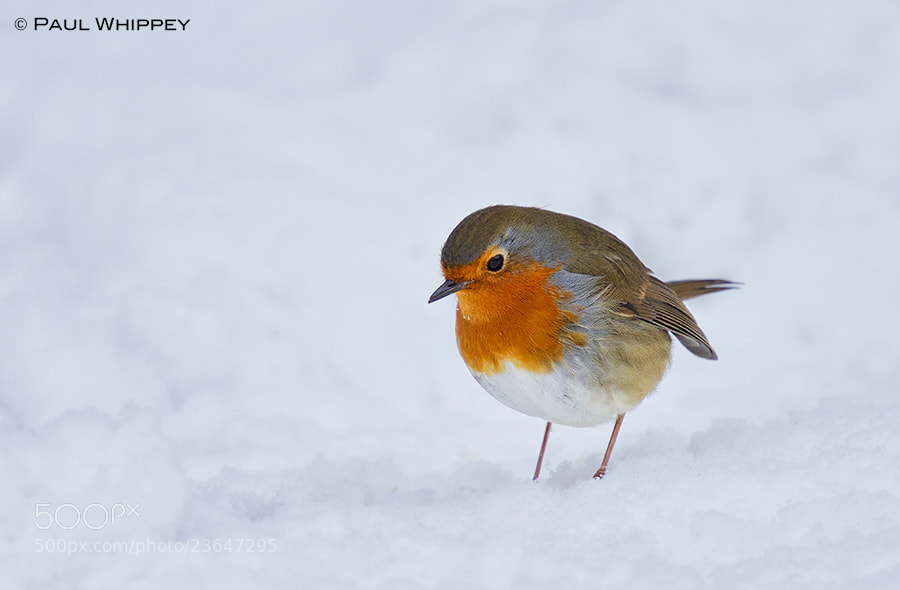 Photograph Snowy robin by Paul Whippey on 500px
