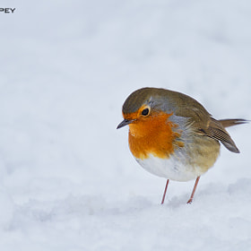 Snowy robin by Paul Whippey (pwhippey)) on 500px.com