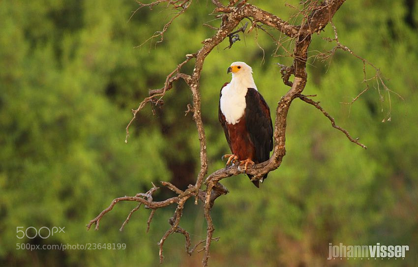 Photograph AFRICAN FISH EAGLE by Johann Visser on 500px