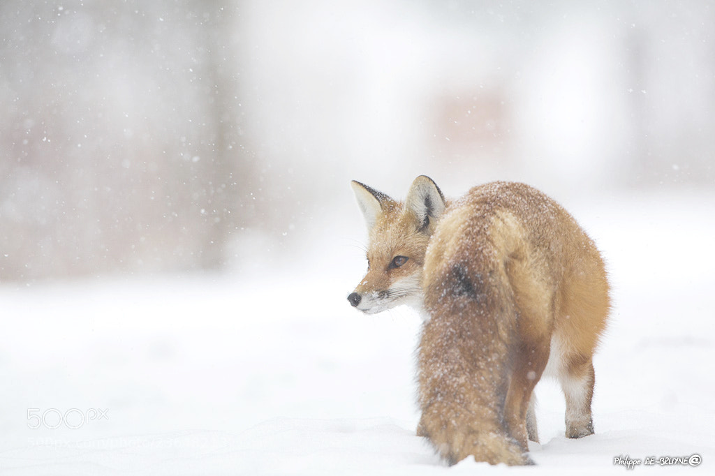Photograph Fox in the snow  by Philippe DE-BRUYNE on 500px