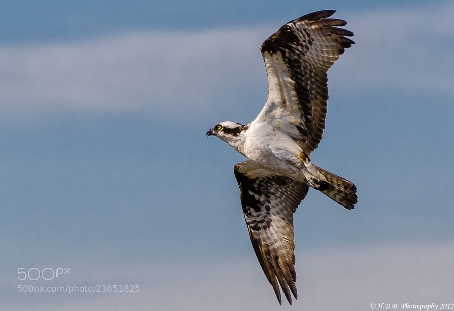 Photograph Flight Of The Osprey by Harold Begun on 500px