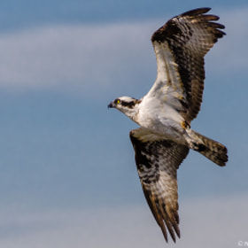 Flight Of The Osprey by Harold Begun (HaroldBegun)) on 500px.com