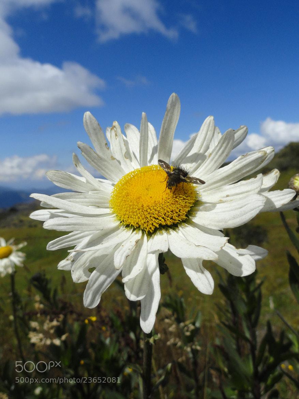 Photograph Bee Daisy by JON TJADER on 500px
