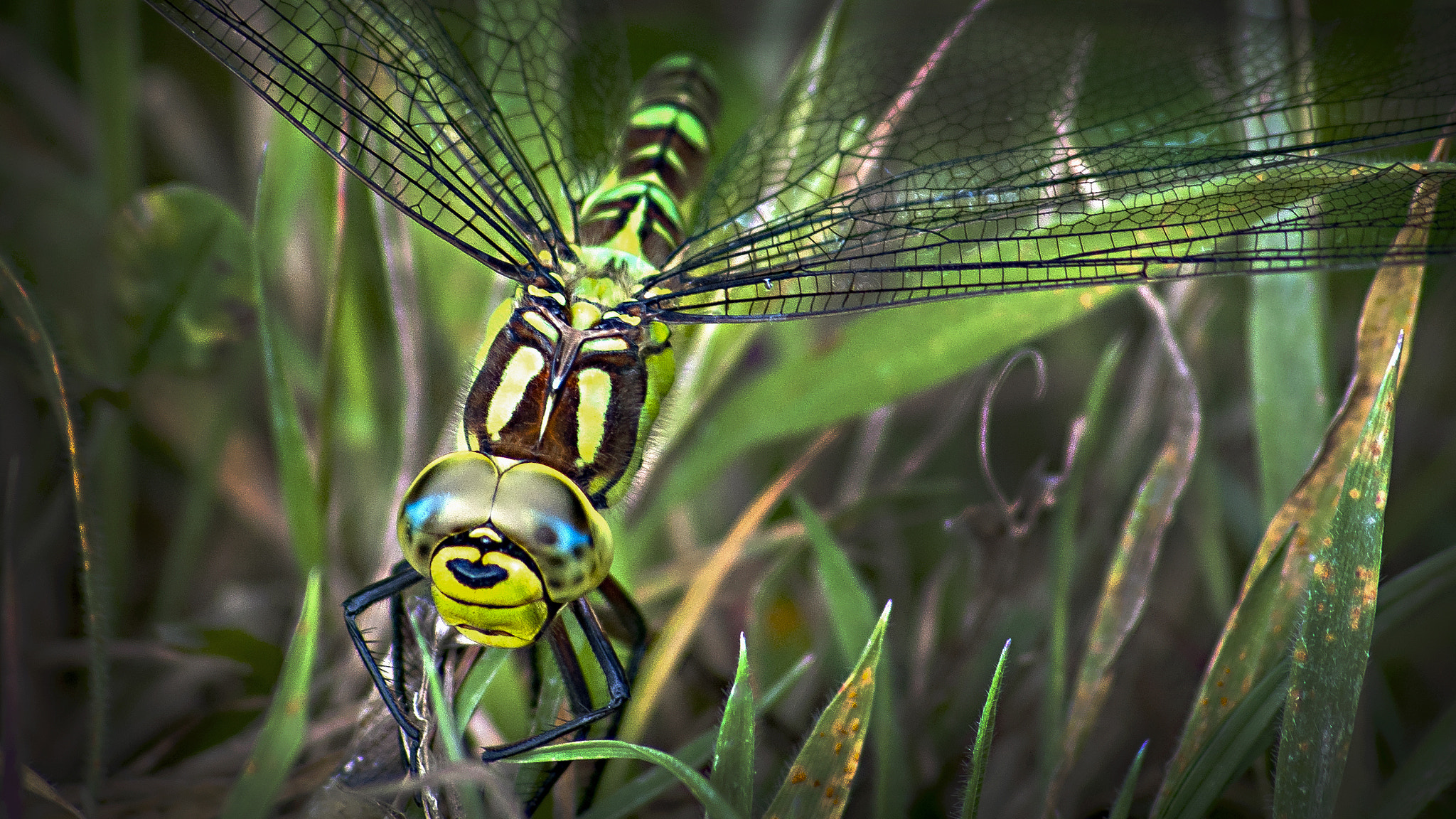 Photograph Southern Hawker Dragonfly by Mark Shoesmith on 500px