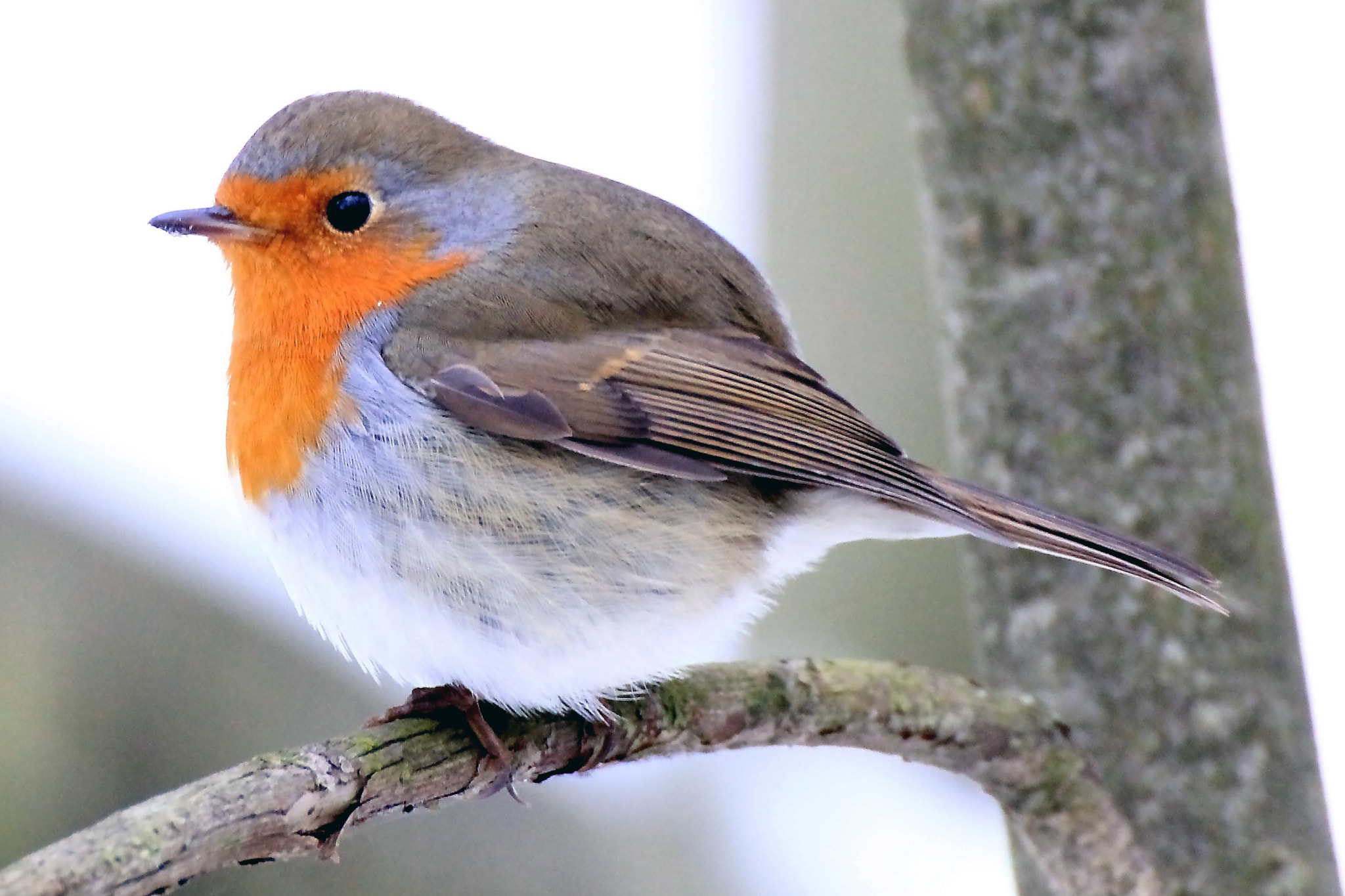 Photograph robin  by Ralf Muhl on 500px