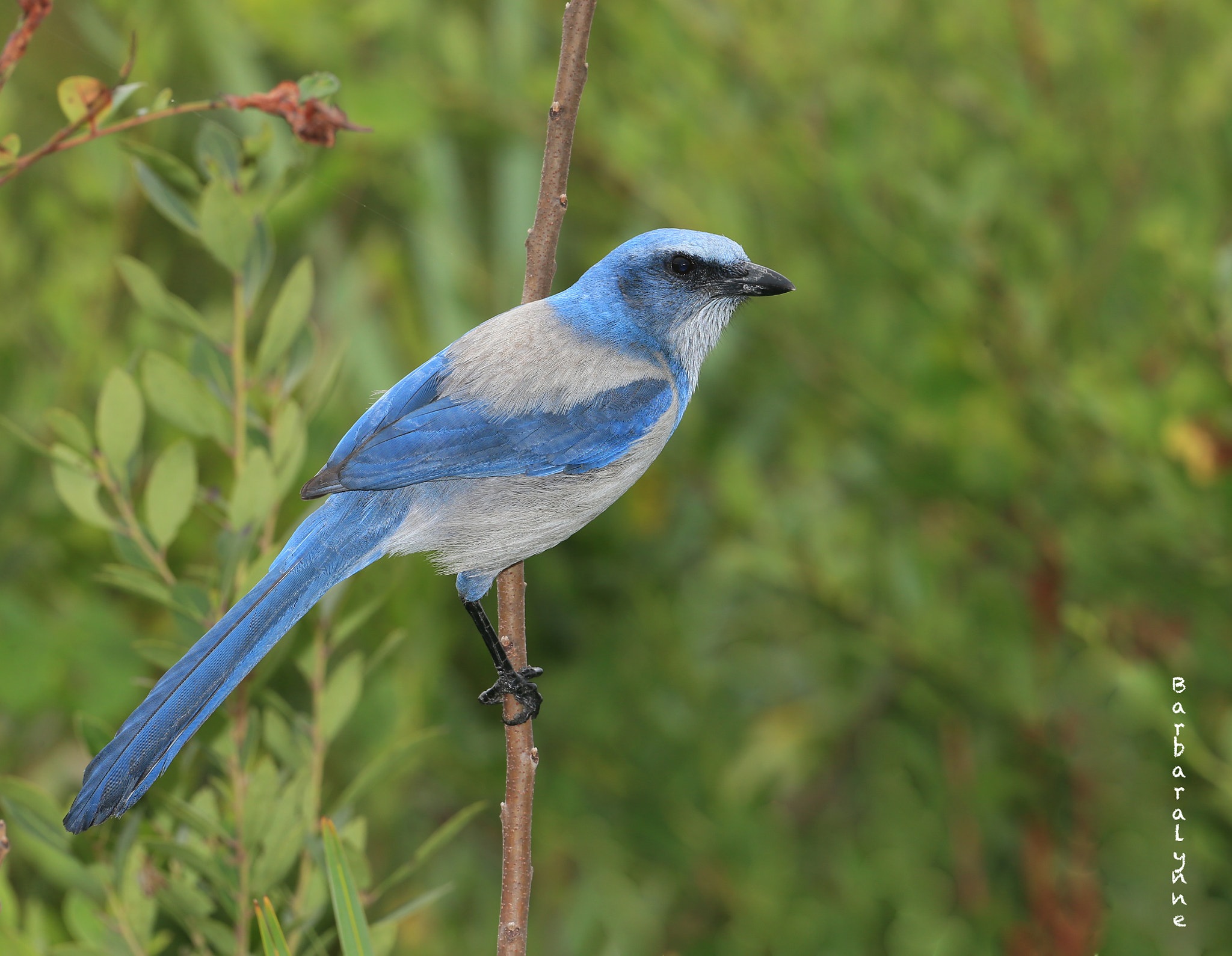 Photograph Endangered Florida Scrub Jay  by Barb D'Arpino on 500px