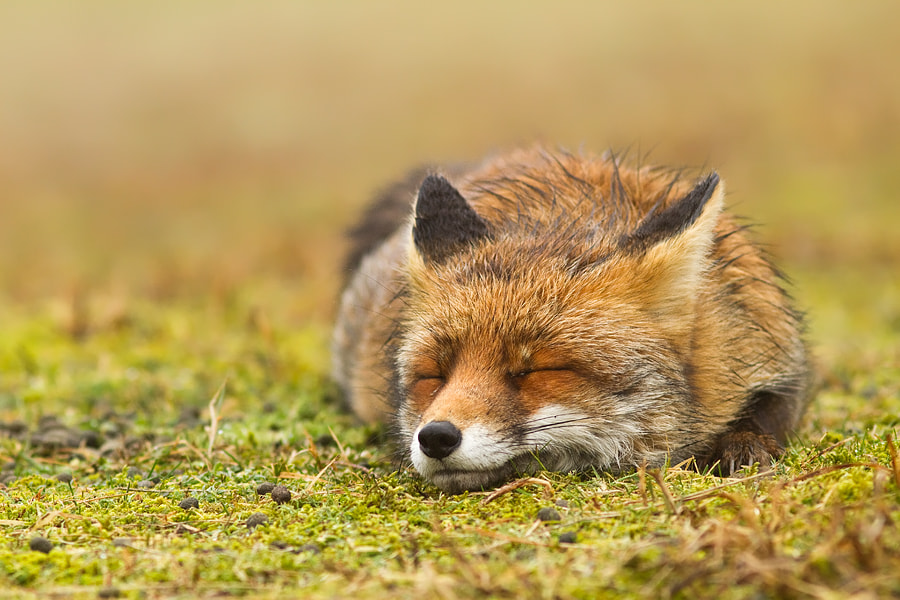 Photograph Zen Fox by Roeselien Raimond on 500px