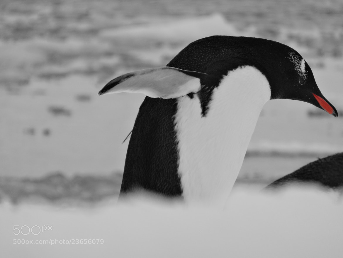 Photograph Penguin by JON TJADER on 500px