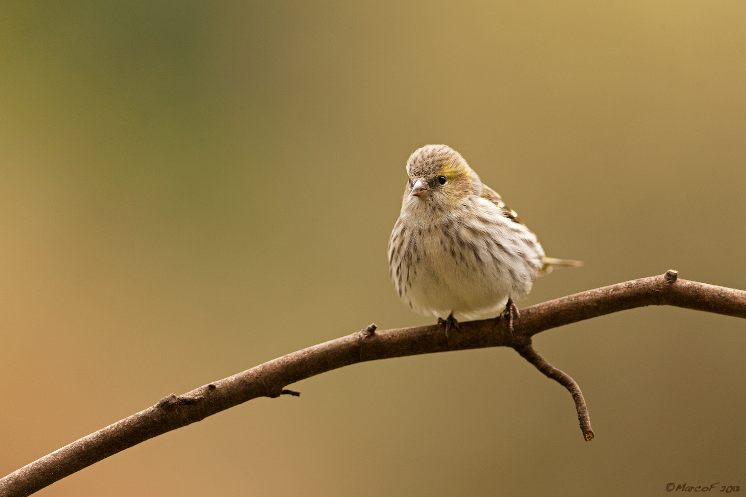 Photograph Lady Carduelis spinus- Lady Lucherino by Marco Franzini on 500px