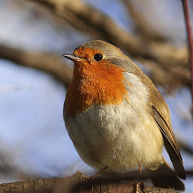 """robin""   (kızılgerdan) by engin erol (shark023)) on 500px.com"