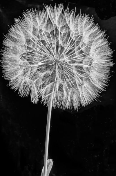 Photograph dandelion 1 by George Athanasiou on 500px