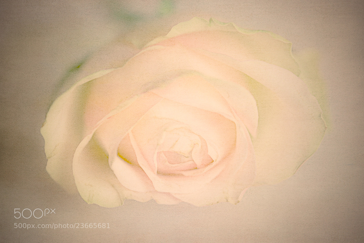 Photograph A Rose For January by Penny Myles on 500px