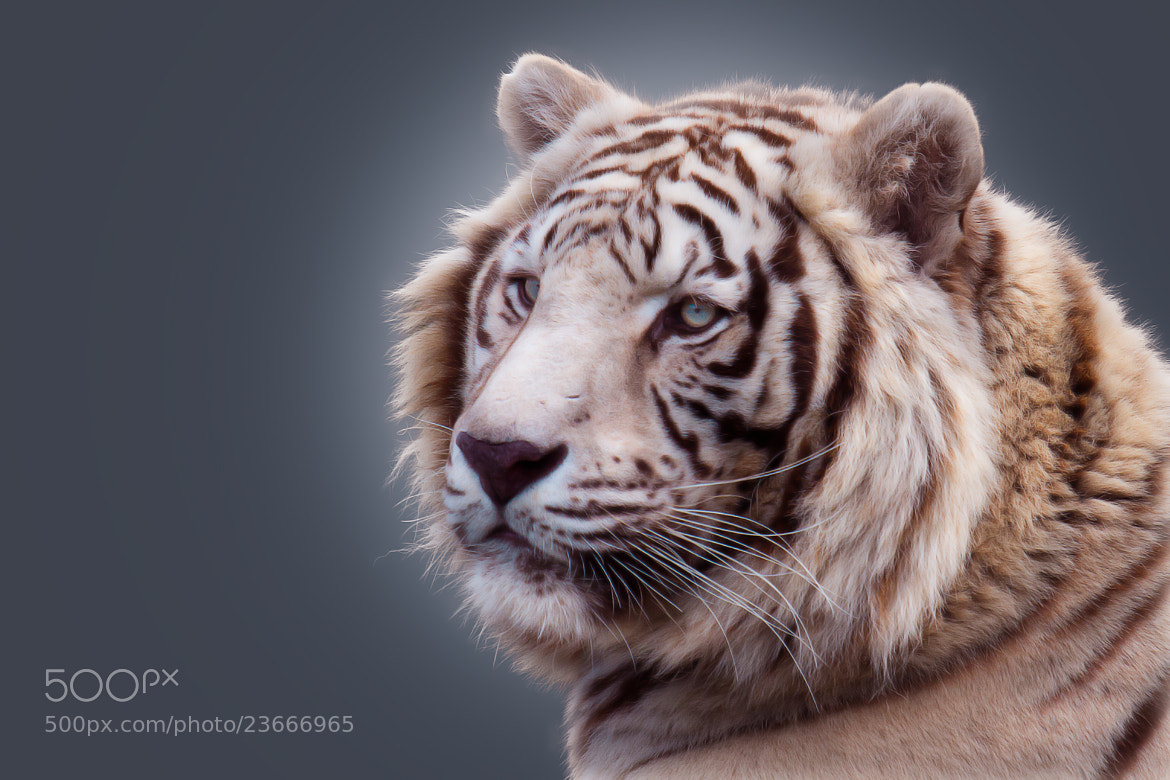 Photograph White Tiger by Denis Van Linden on 500px