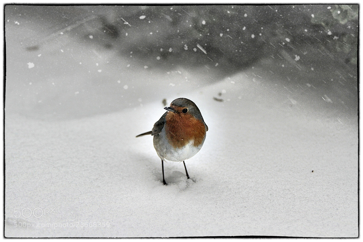 Photograph Robin in bad weather by Koen Domus on 500px