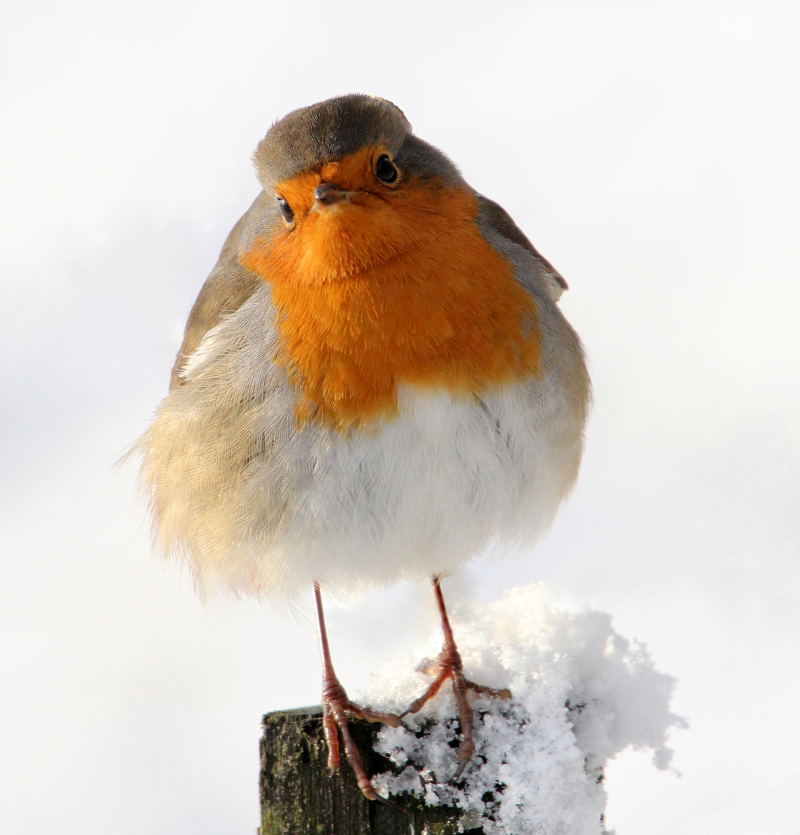 Photograph Melancholy Robin by Ger Bosma on 500px