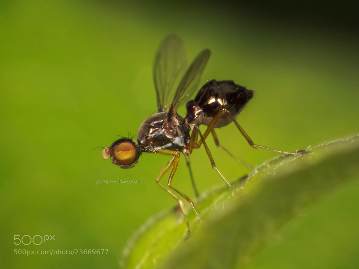 Photograph o.0 Dancing fly by Allen Kong on 500px