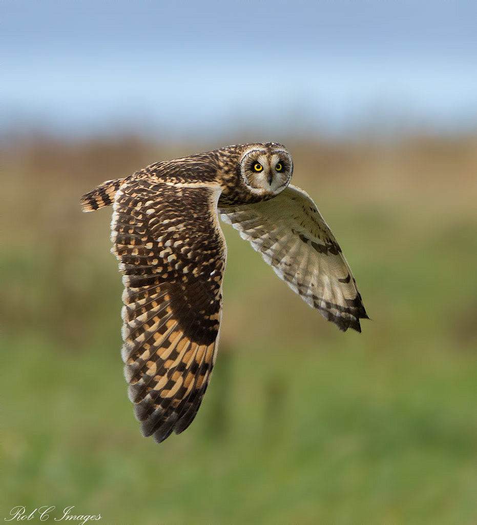Photograph Short-eared Owl by Rob Cross on 500px