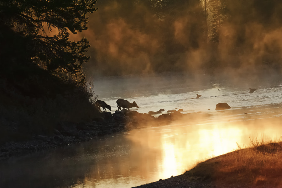 Elk Crossing the Snake River in the early morning