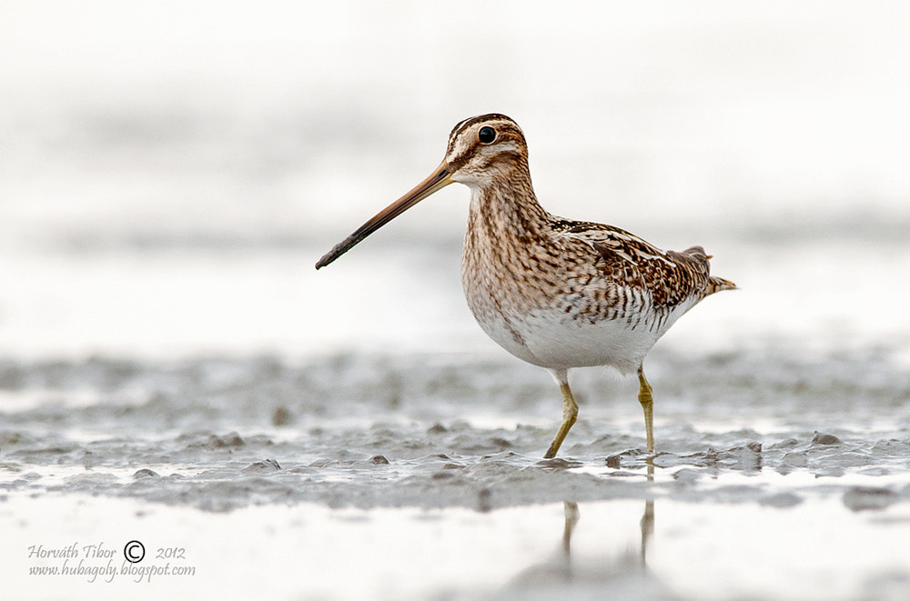 Photograph Long beak by Horváth  Tibor on 500px