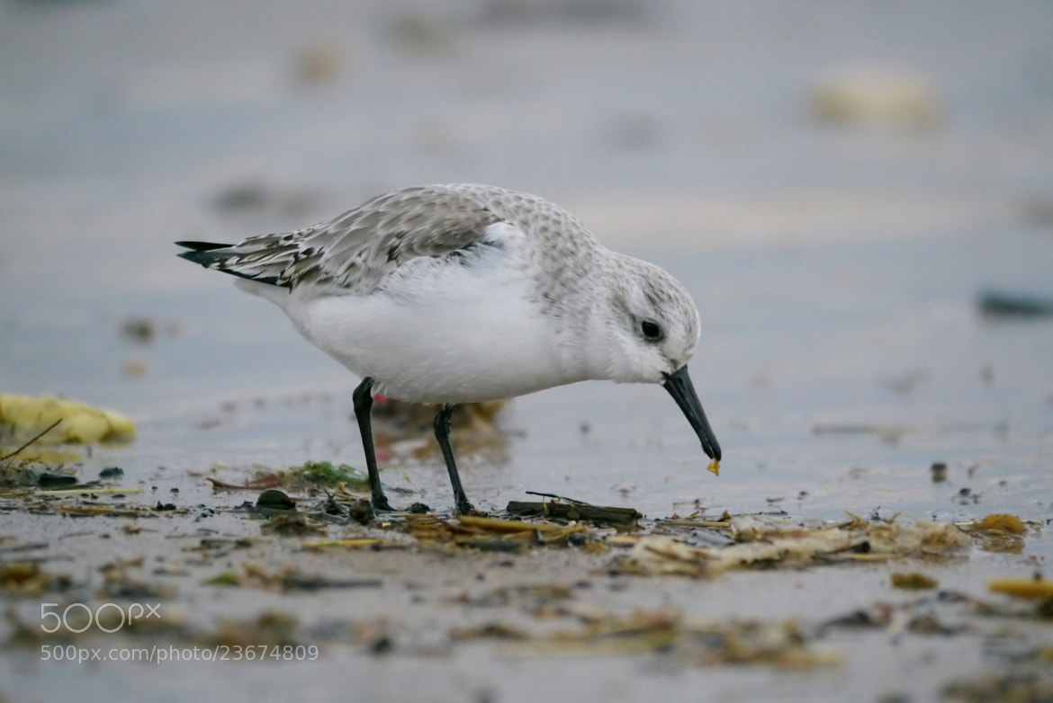 Photograph Sanderling by Justin Carr on 500px